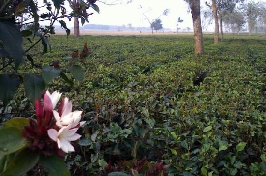 Doke - Lochan Tea garden