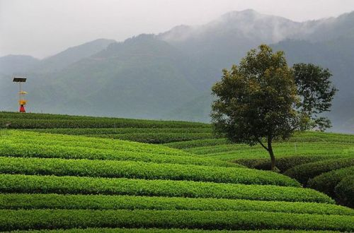 Waiting for those tea fields to turn green! (Tea garden in Zhejiang, stock photo)