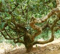 Old tea tree. Yunnan Province, China