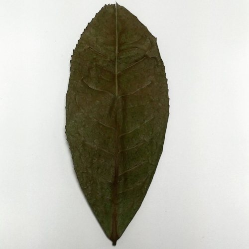 Yunnan tea leaf, about 4 inches long, see on Facebook as posted by Drew Bednasek, a tea reviewer.