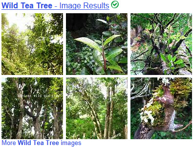 """Wild"" tea trees. (From Yahoo! Images)"