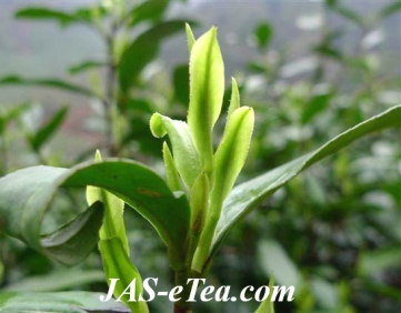 tea-leaves-051