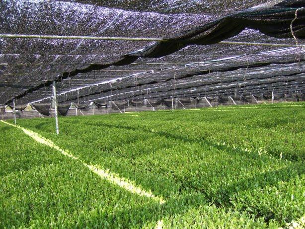 Tencha tea garden shaded with a tana (canopy covering).