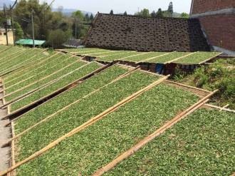 sun drying tea
